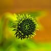 A Cone Flower Bud
