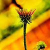 Almost a Cone Flower