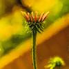 Cone Flower Baby Cezanne