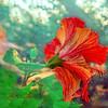 Hibiscus Flame
