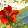 Hibiscus Aglow