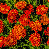Myriads of Marigolds