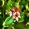 Pineapple Guava Glowing Blossom
