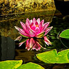 Pink Water Lily with Art