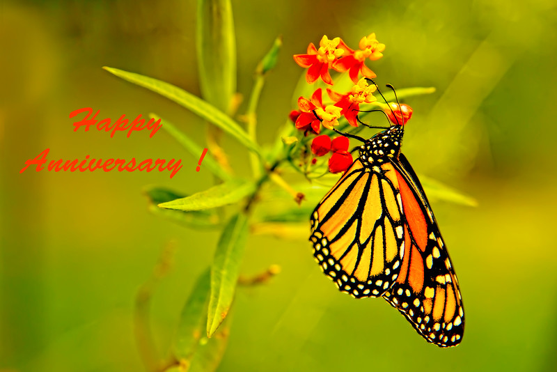 Happy Anniversary Monarch Butterfly