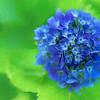 Blue Hydrangea Glow