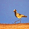 Black-Wing Lapwing With a Sketchy Background