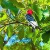 Red-Headed Woodpecker Art 6