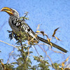 Fancy Yellow-Bill Hornbill