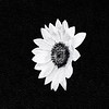 Sunflower Cutout in Black and White