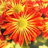 Artsy Chrysanthemum 3
