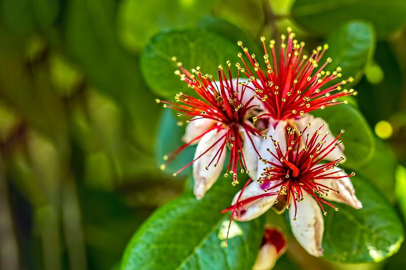 Pineapple Guava Bloom