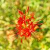Spider Lily Cezanne