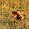 Alpha Wild Dog of Botswana