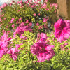 Pink Petunias in Flower Box