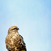 Greater Kestrel 2