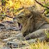 A Yawning Lion
