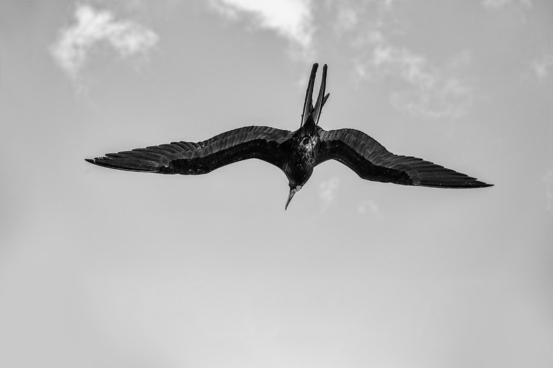 The Magnificent Frigate Bird in Black and White
