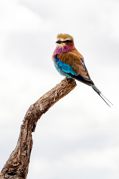 Beauty With Wings – the Lilac Breasted Roller