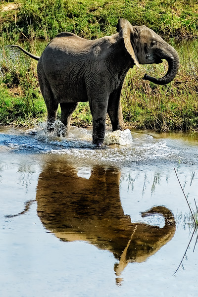Young Elephant Playing in a Puddle