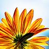 Chrysanthemum Blues