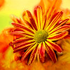 Artsy Chrysanthemum 9