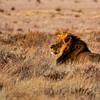 Black-Maned Lion of the Kalahari Waiting