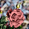 Pink Rose with Two Buds