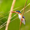 Malalchite Kingfisher