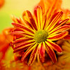 Artsy Chrysanthemum 8