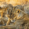 Mother Love for a Lion Cub