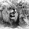 Black Maned Lion of the Kalahari and Cub in Black and White