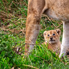 What Could Be Cuter Than a Baby Lion Cub?