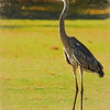 Great Blue Heron Golfing