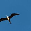 The Female Magnificent Frigate Bird
