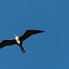 The Female Magnificent Frigate Bird