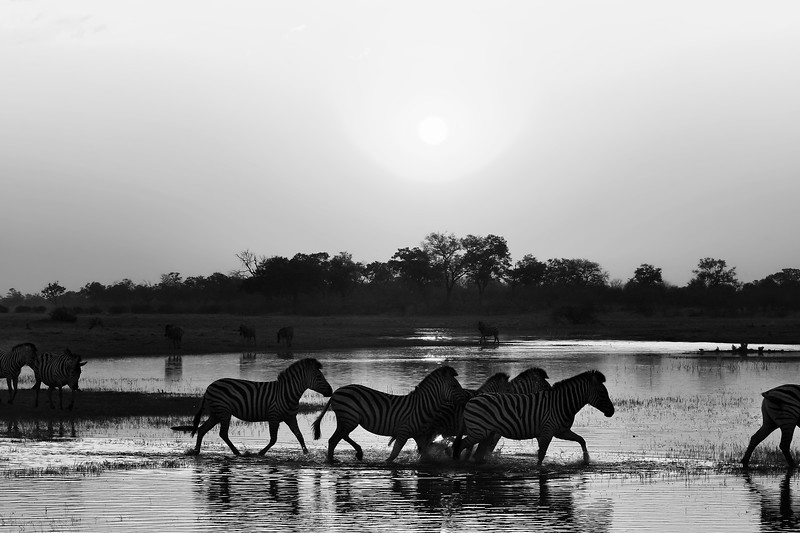 A Botswana Zebra Sunset in Black and White