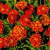 Myriads of Marigolds