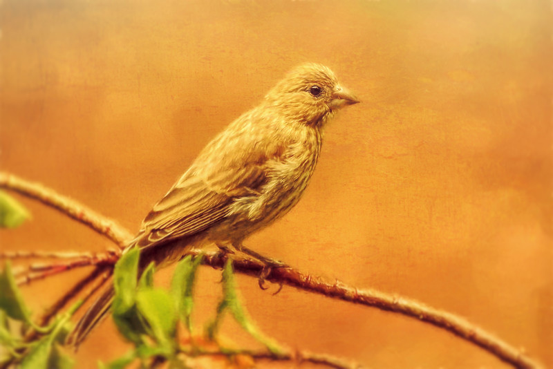 Female House Finch Embellished