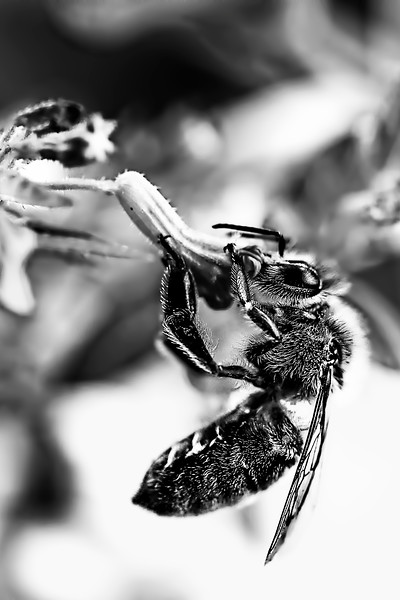 Honey Bee At Dinner in Black and White