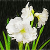 White Amaryllis with Art