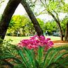 Florida Azalea Spring