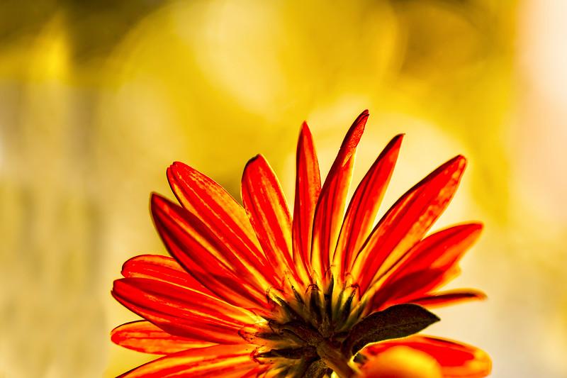 Chrysanthemum Bokeh