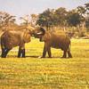 Playing Elephants Sketch