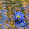 Water Lily in Blue
