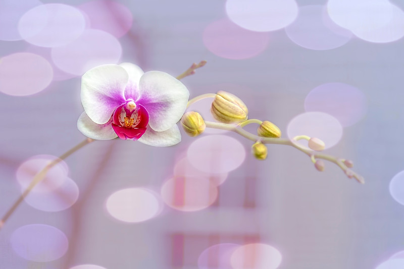 Bubbly Orchid