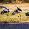 Dance of the Maribou Stork