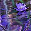 Lovely Lily in Lavendar