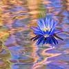Botswana Water Lily