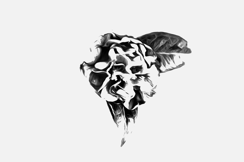 High Key Camellia in Black and White